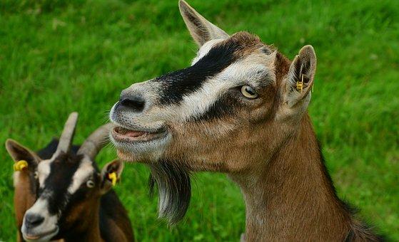 goat-2664466__340