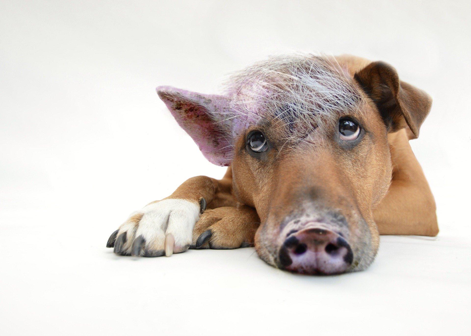 2021-04-06-Pixabay Schweinehund 2613125_1920