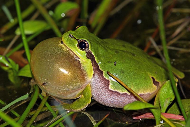 Frosch mit Schallblase