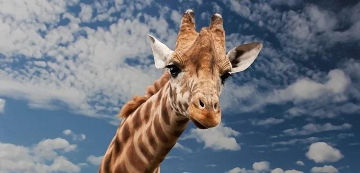 Giraffe mit Himmel