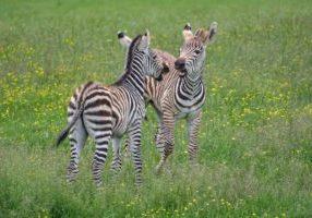 2021-05-24 Pixabay Christel Sagniez zebra-3414380_1920